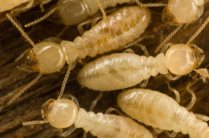 Termite Control in Southern Florida, Broward, Dade & Palm Beach Counties